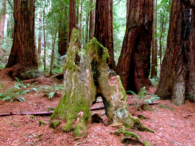 7 Best places to see the Redwood Trees 9