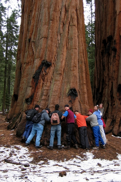 Eight people can only circle close to half of one of the giant Sequoia trees in Sequoia National Park, California.